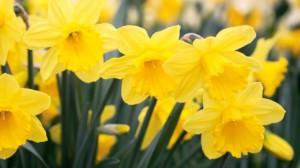 Dutch Master-style Daffodils
